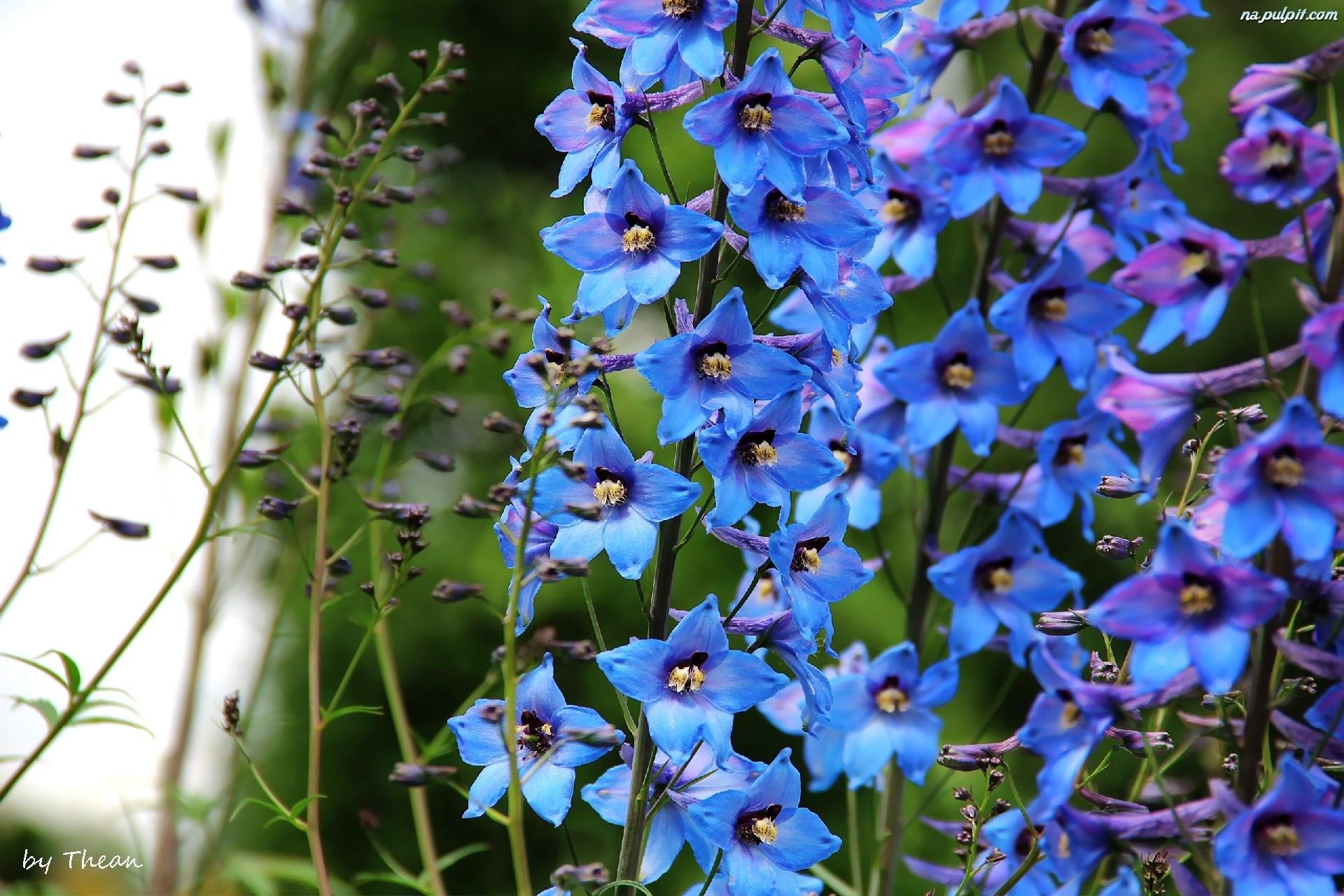 kwiaty dzwonki